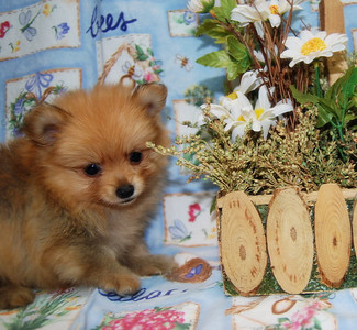 PUPPY NUMBER: # 699 Sold to:  Lori P. Date Sold: Oct 2007 From: Dallas, TX BREED: Pom SEX: Male SIZE:Teacup D.O.B:8/13/2007 COLOR:red with black  Starting Price was:$1,675.00  Sales Representative: Jan  Click the ( BUY THIS PHOTO ) icon under photo to purchase this puppy picture. Photos are available in wallets, 8 X 10, 5 x 7, on key chains, mouse pads, back packs, coffee mugs and T-Shirts and more.  This Photo is copy right protected by: Teacup And Toy Pets