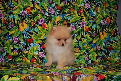 PUPPY NUMBER: #  617  Sold to: Brad C. Date Sold: July 2007 From: Plano, TX BREED: Pomeranian SEX:Male SIZE: Teacup D.O.B: 5-12-07 COLOR: Red COAT TYPE: Soft and Fluffy  Starting Price was:1675.00 Final Price Paid: 1375.00 Sales Representative: Jan   Click the ( BUY THIS PHOTO ) icon under photo to purchase this puppy picture. Photos are available in wallets, 8 X 10, 5 x 7, on key chains, mouse pads, back packs, coffee mugs and T-Shirts and more.  This Photo is copy right protected by: Teacup And Toy Pets