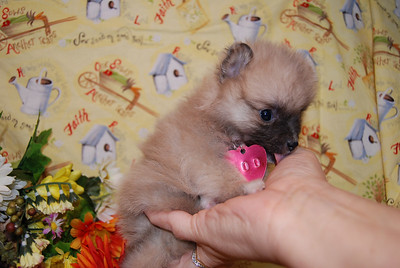 PUPPY NUMBER: # 500 Sold to: Timi E. Date Sold: May 2007 From:  Farmers Branch TX BREED: Pomeranian SEX: Female SIZE:  Tiny Teacup COLOR: Light Sable COAT TYPE: Soft and silky  Starting Price was: $2975.00 Final Price Paid: $ 2975.00 Sales Representative: SHELLEY  Click the ( BUY THIS PHOTO ) icon under photo to purchase this puppy picture. Photos are available in wallets, 8 X 10, 5 x 7, on key chains, mouse pads, back packs, coffee mugs and T-Shirts and more.  This Photo is copy right protected by: Teacup And Toy Pets