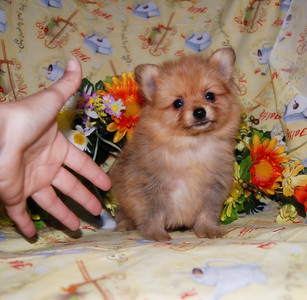 PUPPY NUMBER: # 698 Sold to: Linda B. Date Sold: December 2007 From: Bellevue, WA BREED: Pomeranian SEX: Male SIZE: Teacup D.O.B: 8/13/2007 COLOR: Cream  Starting Price was:$ 3,100.00 Final Price Paid: $ 1,025.00 Sales Representative: Jan  Click the ( BUY THIS PHOTO ) icon under photo to purchase this puppy picture. Photos are available in wallets, 8 X 10, 5 x 7, on key chains, mouse pads, back packs, coffee mugs and T-Shirts and more.  This Photo is copy right protected by: Teacup And Toy Pets