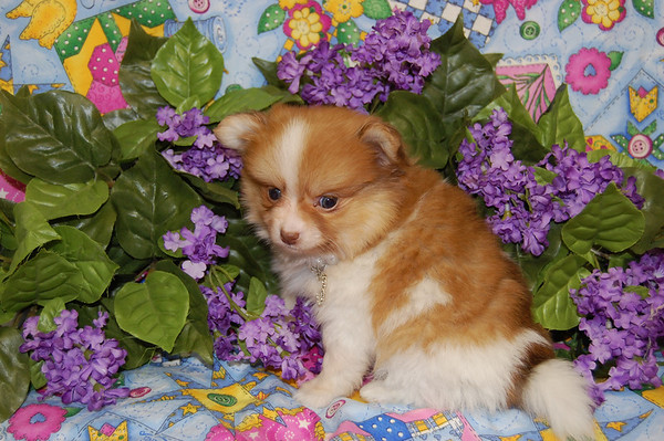 Sold Puppy # POM 793  April of 2008