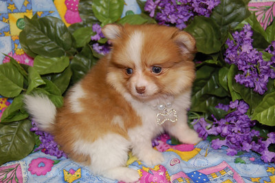 PUPPY NUMBER: # 793  Sold to: ( John S. ) Date Sold: April 2008 From: Hewitt, TX BREED: Pomeranian SEX: Female SIZE: Tiny Teacup D.O.B: 02-23-2008 COLOR: Red and White COAT TYPE: ( Soft and Silky )  Starting Price was:$ 3600.00 Final Price Paid: $ 3200.00 Sales Representative: Becky Customer Comments: We named her Ginger!! She is so sweet.  Click the ( BUY THIS PHOTO ) icon under photo to purchase this puppy picture. Photos are available in wallets, 8 X 10, 5 x 7, on key chains, mouse pads, back packs, coffee mugs and T-Shirts and more.  This Photo is copy right protected by: Teacup And Toy Pets