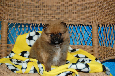 PUPPY NUMBER: # 764   Sold to: Jennifer S Date Sold: Feb. 2008 From: Frisco, TX BREED:Pom  SEX: Male SIZE: Teacup D.O.B: 1-6-2008 COLOR:Brown   Starting Price was: $2600.00 Final Price Paid: $2600.00 Sales Representative: Becky Customer Comments: ___________