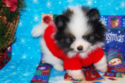 "PUPPY NUMBER # 965 Adopted by 2nd Time Previous Customer: TIFFANY T. FROM: ROWLETT, TX BREED: POMERANIAN SIZE: TINY TEACUP SEX: MALE  COLOR: BLACK AND WHITE DATE OF BIRTH: 10-01-08 COAT TYPE: LONG Starting Price with registration was: $4500.00 Pet Boutique sales representative: CHRISTY Customer Comments: HIS NAME IS ""SPENCER"" Send an e-mail to TeacupPets@TexasTeacups.com if you would like for us to include comments about your new puppy and your experience with purchasing a puppy from our pet boutique.  Click the ( BUY THIS PHOTO ) icon under photo to purchase this puppy picture. Photos are available in wallets, 8 X 10, 5 x 7, on key chains, mouse pads, back packs, coffee mugs and T-Shirts and more.  This Photo is copy right protected by: Teacup And Toy Pets"