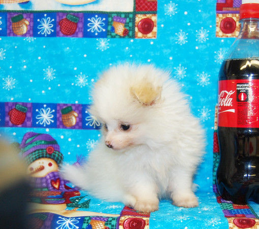 """Sold Puppy #  POM 966 SOLD TO MARIA G. HIS NAME IS """"MAVERICK"""""""