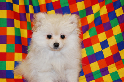 """PUPPY NUMBER: # 770 Sold to: Tiffany T. Date Sold: May, 2008 From: Rowlett, Tx BREED: pomeranian SEX: Female SIZE: Toy D.O.B: 12-01-2007 COLOR:Cream Starting Price was:$2300.00 Final Price Paid: $300.00 Sales Representative:Delaina Customer Comments:named puppy :Ellie"""""""