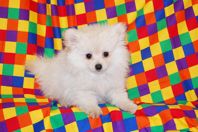 """PUPPY NUMBER: # 770 Sold to: Tiffany T. Date Sold: May, 2008 From: Rowlett, Tx BREED: pomeranian SEX: Female SIZE: Toy D.O.B: 12-01-2007 COLOR:Cream Starting Price was:$2300.00 Final Price Paid: $300.00 Sales Representative:Delaina Customer Comments:named puppy """"Ellie"""""""