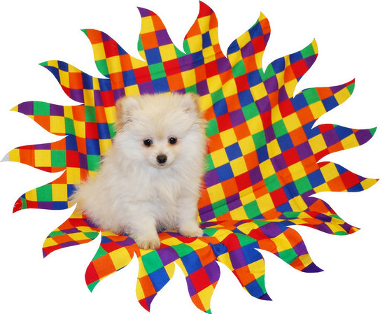 Sold to Tiffany T. ( PUPPY NUMBER # POM 770 ) Sold 5-17-2008