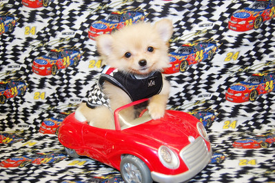 PUPPY NUMBER # 1034 Sold to: ROXANNE M. Date Sold: APRIL, 2009 FROM: DALLAS, TX BREED: POMERANIAN SIZE: TEACUP SEX: MALE COLOR: APRICOT DATE OF BIRTH: 01-15-09 COAT TYPE: LONG Starting Price with registration was: $3100.00 Starting Price was: $2800.00 Sold for $ 2600.00 at a discounted price. Pet Boutique sales representative:JAN If you purchase a puppy in this photo gallery and would like for us to add your puppy's name and comments to the puppy you have purchased.  Send an e-mail with your full name, puppy's name and puppy number to us along with any comments you would like to add to your puppies photo. You may also send photos of your family members with or without puppy and we will add it to your puppy's photo gallery. ==== ( TeacupPets@TexasTeacups.com ) ====  Click the ( BUY or BUY THIS PHOTO ) icon to purchase this photo.  Photos start at 39 cents and are available in Wallets, 8 X 10, 5 x 7, Key Chains, Luggage Tags that can be used on pet crate or carrier when traveling, Mouse Pads, Back Packs, Coffee Mugs, T-Shirts Calendars and more.  Photos in this gallery may be deleted at anytime as we make room for new puppy pictures.   This Photo is copyright protected by: www.TexasTeacups.com