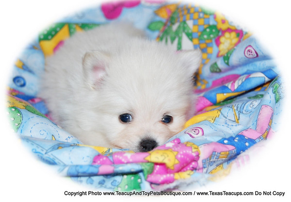 SOLD Pomeranian Puppy # 2014 To Maggie P. Of Mesquite, Tx