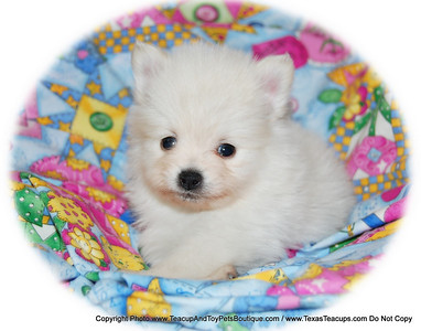 PUPPY NUMBER # 2014 Owners Name: Maggie P Puppy's Name: Puff Daddy Date : 8/29/09 Sold to 2nd Time Previous Customer: Maggie P  FROM: >  Mesquite, TX < BREED: Pom SEX: Male COLOR: White DATE OF BIRTH: 6/3/09 Pet Boutique sales representative: > Candi <  Customer Comments: If you purchase a puppy in this photo gallery and would like for us to add your puppy's name and comments to the puppy you have purchased.  Send an e-mail with your full name, puppy's name and puppy number to us along with any comments you would like to add to your puppies photo. You may also send photos of your family members with or without puppy and we will add it to your puppy's photo gallery. ==== ( TeacupPets@TexasTeacups.com ) ====  Click the ( BUY or BUY THIS PHOTO ) icon to purchase this photo.  Photos start at 39 cents and are available in Wallets, 8 X 10, 5 x 7, Key Chains, Luggage Tags that can be used on pet crate or carrier when traveling, Mouse Pads, Back Packs, Coffee Mugs, T-Shirts Calendars and more.  Photos in this gallery may be deleted at anytime as we make room for new puppy pictures.  Vote for this puppy by giving it thumbs up if you like his/her picture.  This Photo is copyright protected by: http://www.TexasTeacups.com