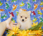 PUPPY NUMBER # 2015 My New Owners Name: Edward V. Puppy's Name:  Date Sold : 9/9/2009  FROM: Grand Prairie BREED: Pomeranian SEX: Female COLOR: Light Red DATE OF BIRTH:  Pet Boutique Sales Representative:   Customer Comments:  If you purchase a puppy in this photo gallery and would like for us to add your puppy's name and comments to the puppy you have purchased.  Send an e-mail with your full name, puppy's name and puppy number to us along with any comments you would like to add to your puppies photo. You may also send photos of your family members with or without puppy and we will add it to your puppy's photo gallery.   ==== ( TeacupPets@TexasTeacups.com ) ====  This Photo is copyright protected by: http://www.TexasTeacups.com
