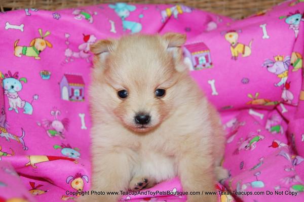 SOLD Pomeranian Puppy # 2015 To Edward V. Of Grand Prairie, Tx