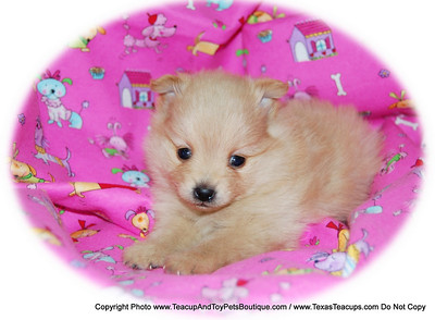 TEXAS TEACUPS / ADOPOTION PUPPY PUPPY NUMBER # POM 2015 Owners Name: Edward Vinson Date : 6/1/09 FROM: > Grand Prairie, TX  < BREED: POM SEX: Female COLOR: Honey DATE OF BIRTH: 6/1/09 Pet Boutique sales representative: > Candi <  Customer Comments: If you purchase a puppy in this photo gallery and would like for us to add your puppy's name and comments to the puppy you have purchased.  Send an e-mail with your full name, puppy's name and puppy number to us along with any comments you would like to add to your puppies photo. You may also send photos of your family members with or without puppy and we will add it to your puppy's photo gallery. ==== ( TeacupPets@TexasTeacups.com ) ====  Click the ( BUY or BUY THIS PHOTO ) icon to purchase this photo.  Photos start at 39 cents and are available in Wallets, 8 X 10, 5 x 7, Key Chains, Luggage Tags that can be used on pet crate or carrier when traveling, Mouse Pads, Back Packs, Coffee Mugs, T-Shirts Calendars and more.  Photos in this gallery may be deleted at anytime as we make room for new puppy pictures.  Vote for this puppy by giving it thumbs up if you like his/her picture.  This Photo is copyright protected by: http://www.TexasTeacups.com
