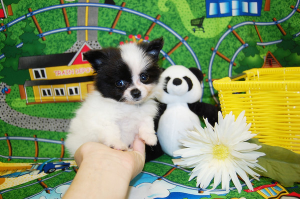 Sold Puppy #  POM 989 SOLD TO DIANE L.