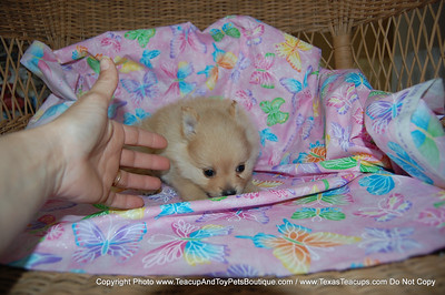 PUPPY NUMBER # 2016 My New Owners Name: Candace D.  Puppy's Name:  Date Sold 8/09  FROM: Forney BREED: Pomeranian SEX: Female COLOR: light red DATE OF BIRTH: 6/1/09 Pet Boutique Sales Representative: Rebecca Bice  ==== ( TeacupPets@TexasTeacups.com ) ====  This Photo is copyright protected by:http://www.TexasTeacups.com