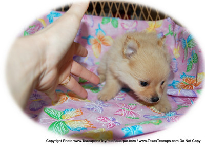 PUPPY NUMBER # 2016 My New Owners Name: Candace D.  Puppy's Name:  Date Sold 8/09  FROM: Forney BREED: Pomeranian SEX: Female COLOR: light red DATE OF BIRTH: 6/1/09 Pet Boutique Sales Representative: Rebecca Bice  Customer Comments:  If you purchase a puppy in this photo gallery and would like for us to add your puppy's name and comments to the puppy you have purchased.  Send an e-mail with your full name, puppy's name and puppy number to us along with any comments you would like to add to your puppies photo. You may also send photos of your family members with or without puppy and we will add it to your puppy's photo gallery  ==== ( TeacupPets@TexasTeacups.com ) ====  This Photo is copyright protected by:http://www.TexasTeacups.com