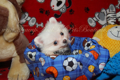 PUPPY# POM 2327 (MALE) SOLD This puppy has found a new home.