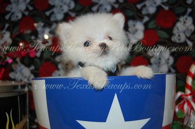 PUPPY NUMBER # 2644 My New Owners Name: Lisa Lewis Puppy's Name:  Date Sold : November 2012  FROM: Kileen Texas  BREED: Pomeranian SEX: Male COLOR: White DATE OF BIRTH: 7/20/12 Pet Boutique Sales Representative: Rebecca  Customer Comments:  If you purchase a puppy in this photo gallery and would like for us to add your puppy's name and comments to the puppy you have purchased.  Send an e-mail with your full name, puppy's name and puppy number to us along with any comments you would like to add to your puppies photo. You may also send photos of your family members with or without puppy and we will add it to your puppy's photo gallery.   ==== ( TeacupPets@TexasTeacups.com ) ====  This Photo is copyright protected by: http://www.TexasTeacups.com