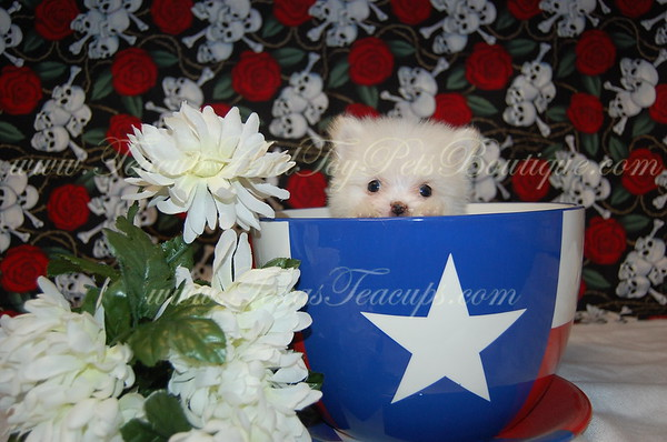 ADOPTED 2644 Pomerian to Lisa L. of Killeen, Tx