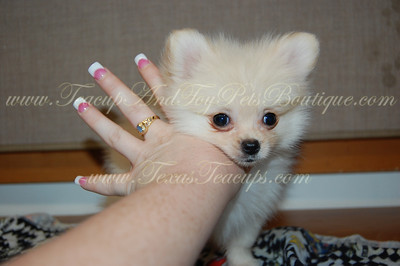 PUPPY NUMBER # 2623 My New Owners Name: Andrea Lewis-Echols Puppy's Name: Bobbie J. Diamond Date Sold : August 2012 FROM: New Boston, Texas BREED: Pomeranian SEX: Male COLOR: White/Cream DATE OF BIRTH: 6/6/2012 Pet Boutique Sales Representative: Becky  Customer Comments:   If you purchase a puppy in this photo gallery and would like for us to add your puppy's name and comments to the puppy you have purchased.  Send an e-mail with your full name, puppy's name and puppy number to us along with any comments you would like to add to your puppies photo. You may also send photos of your family members with or without puppy and we will add it to your puppy's photo gallery.   ==== ( TeacupPets@TexasTeacups.com ) ====  This Photo is copyright protected by: http://www.TexasTeacups.com