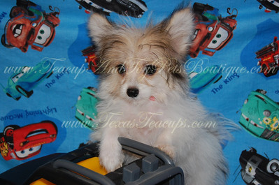 PUPPY NUMBER # 2641 My New Owners Name: Debbie Showalter Puppy's Name: Julio Date Sold : September 2012 FROM:Dallas, Texas BREED: Pomtese SEX: Male COLOR: Parti-Colored DATE OF BIRTH: 4/11/2012 Pet Boutique Sales Representative: Tracea  Customer Comments:  If you purchase a puppy in this photo gallery and would like for us to add your puppy's name and comments to the puppy you have purchased.  Send an e-mail with your full name, puppy's name and puppy number to us along with any comments you would like to add to your puppies photo. You may also send photos of your family members with or without puppy and we will add it to your puppy's photo gallery.   ==== ( TeacupPets@TexasTeacups.com ) ====  This Photo is copyright protected by: http://www.TexasTeacups.com
