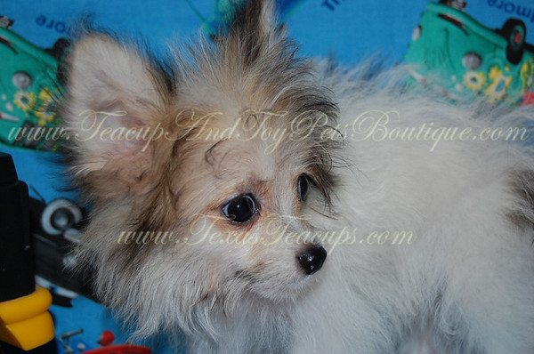 ADOPTED POMTESE 2641