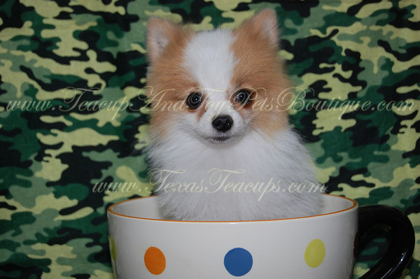 SOLD Adult Teacup Pom 2403 to Danielle T.