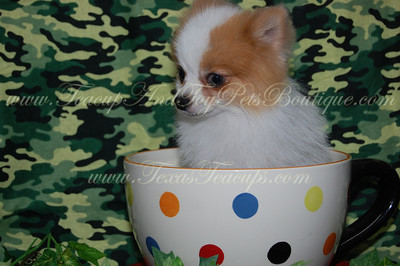 PUPPY NUMBER # 2403 My New Owners Name: Danielle Thomas Puppy's Name: Prince Poppy Date Sold : November 2012  FROM:  Carrolton, Texas  BREED: Pom SEX: Male COLOR: Brown/White Parti-Colored DATE OF BIRTH: Adult Pet Boutique Sales Representative: Tracea Customer Comments: We named him prince poppy. He is happy and responds so well.   If you purchase a puppy in this photo gallery and would like for us to add your puppy's name and comments to the puppy you have purchased.  Send an e-mail with your full name, puppy's name and puppy number to us along with any comments you would like to add to your puppies photo.  You may also send photos of your family members with or without puppy and we will add it to your puppy's photo gallery.   ==== ( TeacupPets@TexasTeacups.com ) ====   This Photo is copyright protected by: http://www.TexasTeacups.com
