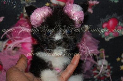 PUPPY NUMBER # 2645 My New Owners Name: Edward and Muriel Williams Puppy's Name:  Date Sold : November 2012  FROM: Duncanville Texas BREED: Pom Mix SEX: Female COLOR: Black/White DATE OF BIRTH: 7/20/12 Pet Boutique Sales Representative: Rebecca  Customer Comments:  If you purchase a puppy in this photo gallery and would like for us to add your puppy's name and comments to the puppy you have purchased.  Send an e-mail with your full name, puppy's name and puppy number to us along with any comments you would like to add to your puppies photo. You may also send photos of your family members with or without puppy and we will add it to your puppy's photo gallery.   ==== ( TeacupPets@TexasTeacups.com ) ====  This Photo is copyright protected by: http://www.TexasTeacups.com
