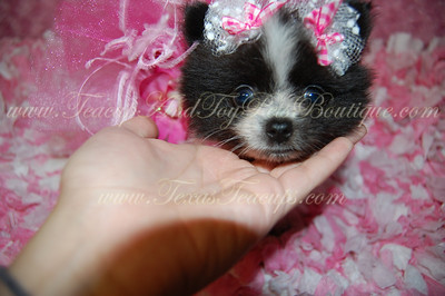 PUPPY NUMBER # 2601 My New Owners Name: Patti Davis Puppy's Name: Shiner Bark Date Sold : July2012  FROM: Irving, Tx BREED: Pomeranian SEX: Female COLOR: Black/White DATE OF BIRTH: 5-15-2012 Pet Boutique Sales Representative: Candi  Customer Comments:  If you purchase a puppy in this photo gallery and would like for us to add your puppy's name and comments to the puppy you have purchased.  Send an e-mail with your full name, puppy's name and puppy number to us along with any comments you would like to add to your puppies photo. You may also send photos of your family members with or without puppy and we will add it to your puppy's photo gallery.   ==== ( TeacupPets@TexasTeacups.com ) ====  This Photo is copyright protected by: http://www.TexasTeacups.com