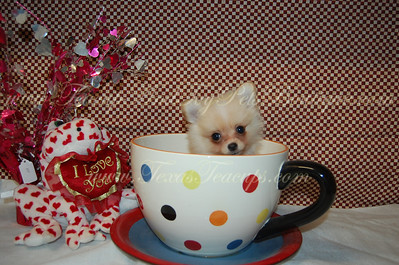 PUPPY NUMBER # 2740 My New Owners Name: Roxanne Hubenak Puppy's Name: Geodon Date Sold : 03/13/2013 FROM: Heath, Texas BREED: Pomeranian SEX: Male COLOR: Cream DATE OF BIRTH: 11/16/2012 Pet Boutique Sales Representative: Joy Customer Comments: He is wonderful, he is adjusting well and is definitely apart of the family. He gets along well with his sister Amiodarone.  If you purchase a puppy in this photo gallery and would like for us to add your puppy's name and comments to the puppy you have purchased.  Send an e-mail with your full name, puppy's name and puppy number to us along with any comments you would like to add to your puppies photo. You may also send photos of your family members with or without puppy and we will add it to your puppy's photo gallery.   ==== ( TeacupPets@TexasTeacups.com ) ====  This Photo is copyright protected by: http://www.TexasTeacups.com