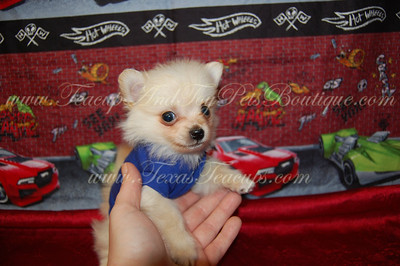 Tiny Teacup Pomeranian 2529