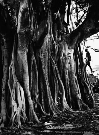 The banyan trees of Hawaii