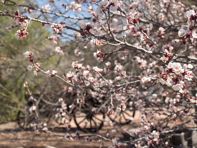 Cherry blossoms and an old wagon. Payson, Arizona