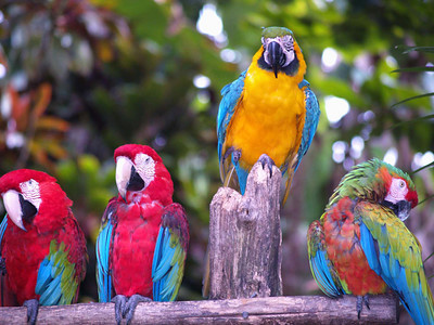 Parrots in Maui