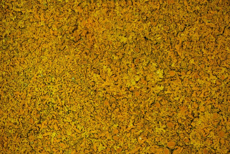 Yellow Seashore Moss