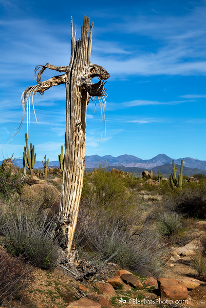 Saguaro Skeleton I
