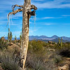 Saguaro Skeleton I