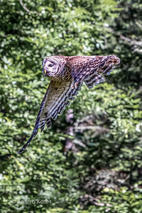 Owl Hunting in Flight