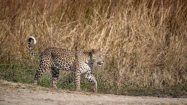 "Leopard (Maun / North-West / Botswana - 19°15'6.6"" S 23°22'53.819"" E)"
