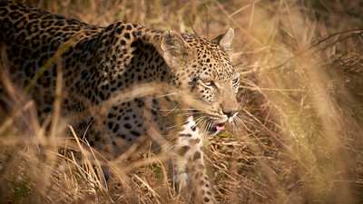 "Leopard (Maun / North-West / Botswana - 19°15'8.459"" S 23°22'39"" E)"