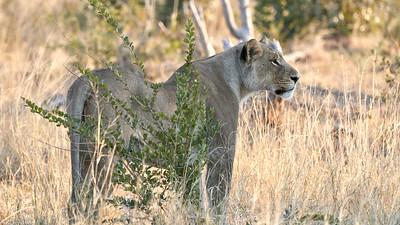 """Lion (Katima Mulilo / Zambezi / Namibia - 18°38'24.9"""" S 24°5'41.699"""" E)"""
