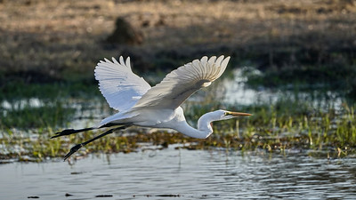 "Great egret - Grande aigrette (Maun / North-West / Botswana - 19°8'9.017"" S 23°54'9.725"" E)"