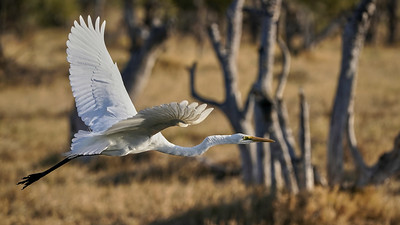 "Great egret - Grande aigrette (Maun / North-West / Botswana - 19°8'8.981"" S 23°54'9.738"" E)"
