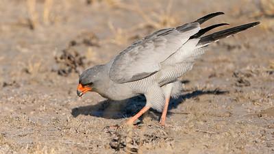 """Pale chanting-goshawk - Autour chanteur (Rakops / Central / Botswana - 21°35'36.684"""" S 23°41'41.909"""" E)"""