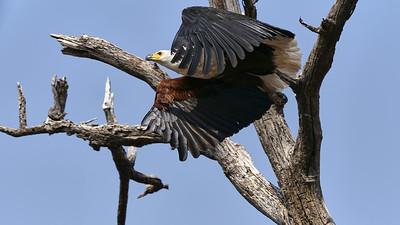 "African fish eagle - Pygargue vocifer (Kasane / North-West / Botswana - 17°50'56.358"" S 24°50'44.735"" E)"