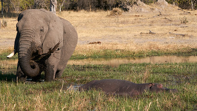 "Elephant and Common hippopotamus (Maun / North-West / Botswana - 19°6'5.819"" S 23°50'59.459"" E)"