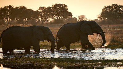 "Elephant (Maun / North-West / Botswana - 19°6'8.76"" S 23°50'55.559"" E)"
