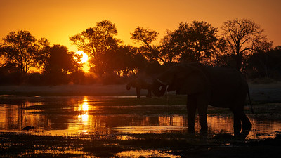 "Elephant (Maun / North-West / Botswana - 19°6'5.579"" S 23°51'2.879"" E)"